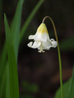 Giant Fawn Lily 03 by botanystock