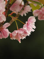 Japanese Cherry 06 by botanystock
