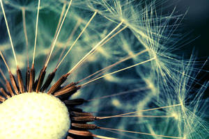The dandelion by deliry