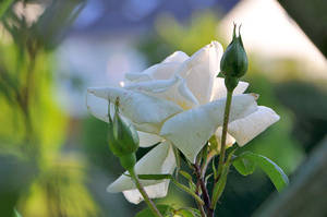 White Rose On Sunday Eve by OfTheDunes