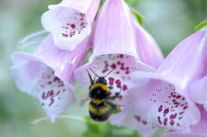 Digitalis with bumble-bee by OfTheDunes