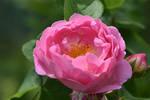 Leonardo-Rose by OfTheDunes