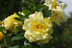 More yellow roses by OfTheDunes