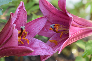 Two Lillies by OfTheDunes