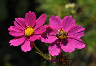 Cosmea with Bee by OfTheDunes