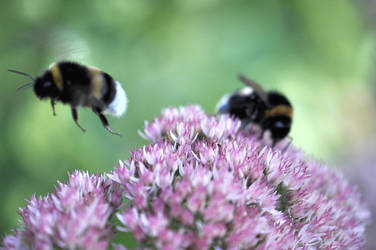 Bumblebees by OfTheDunes