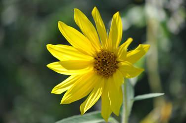 Little Sunflower No. 1 by OfTheDunes
