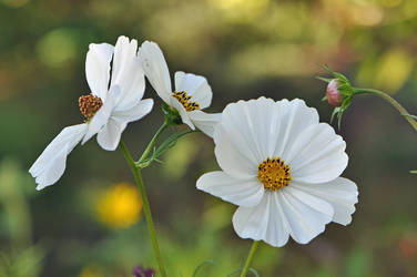 White Cosmea 2018 by OfTheDunes