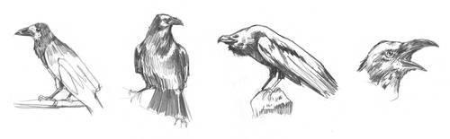crows by Entropician