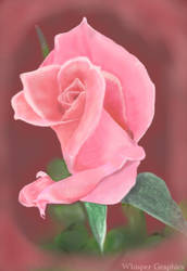 Pink Rose by WhisperGraphics