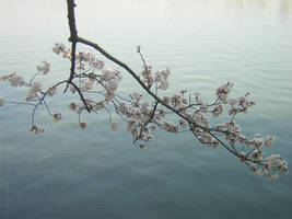 Cherry Blossom by bobrobon