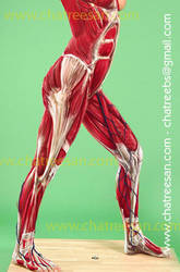 muscles study by chatree
