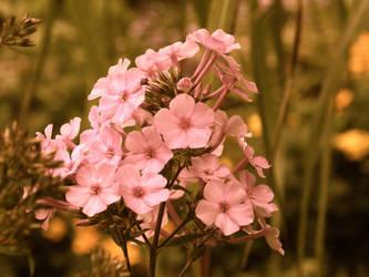 Pink Flowers by TamperdSoul
