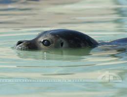 SealPuppy by thrumyeye