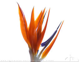 Bird of Paradise by thrumyeye