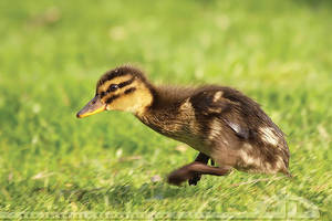 Runnin' Duck by thrumyeye