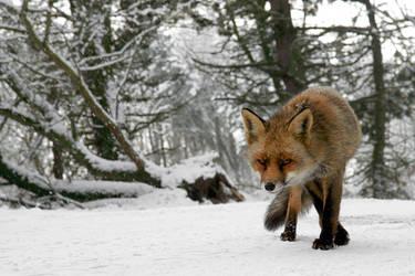 Fox in your Face by thrumyeye