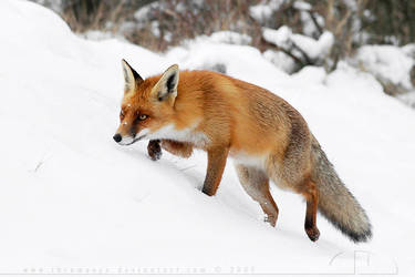 Fox on the Hunt by thrumyeye