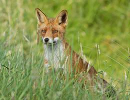 What fox, where...? by thrumyeye