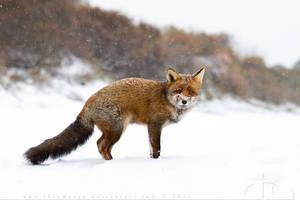 SnowFox by thrumyeye