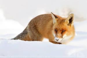 Snowy Nose. by thrumyeye