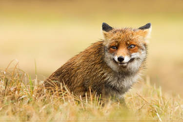 FunnyFox by thrumyeye