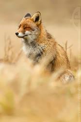 Comfortably Fox by thrumyeye