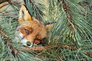 PineFox by thrumyeye