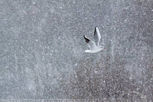 One Gull and a Million Flakes by thrumyeye