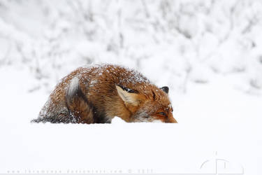 What Fox, where? by thrumyeye