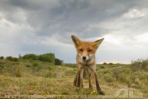 Facing a Fox by thrumyeye