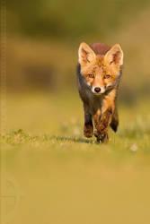 Run, Fox, run... by thrumyeye