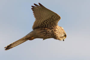 Hovering Kestrel by thrumyeye