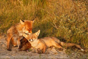 Happy Foxes by thrumyeye