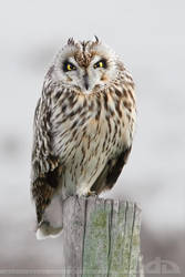 In love with a Short Eared Owl by thrumyeye