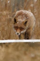 Camouflage Fox by thrumyeye