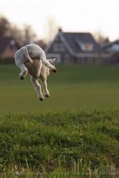 Saute Mouton - The Lamb Jump by thrumyeye