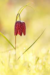 Harbinger of Spring by thrumyeye