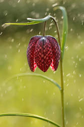 SpringShower by thrumyeye