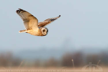 Short Eared Owl in Flight by thrumyeye
