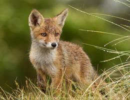 The Wet Fox Kit by thrumyeye