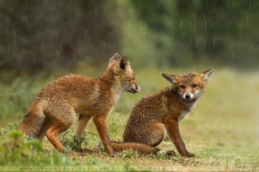 Soaked Fox Kits by thrumyeye