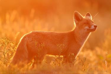 Fire Fox by thrumyeye
