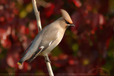 Waxwing in Red by thrumyeye