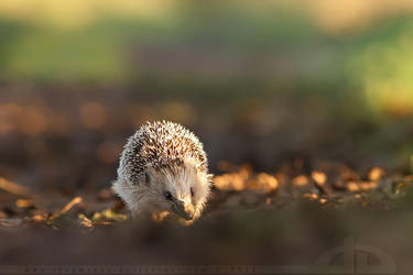 Hedgehog on a Mission by thrumyeye