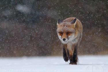 Fox in heavy weather by thrumyeye