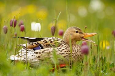Mrs Duck and the Chess Flowers by thrumyeye