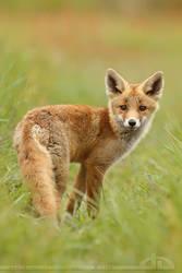 Cute Fox Kit by thrumyeye
