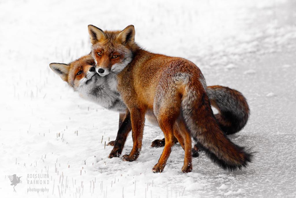 Fox Love by thrumyeye