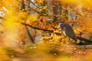 Grey Heron, yellow autumn by thrumyeye